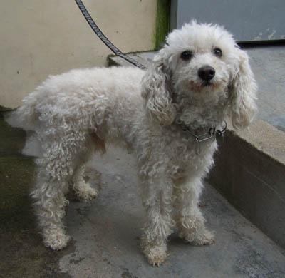 Mâle caniche nain blanc - 10 ANS - en FA chez Cani-Seniors Canich15