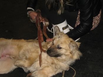 CAPOSU (chien battu en Roumanie) Caposu11