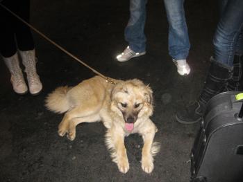 CAPOSU (chien battu en Roumanie) Caposu12
