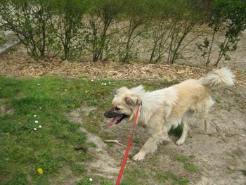 CAPOSU (chien battu en Roumanie) Caposu13