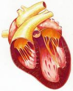 La Cardiomyopathie Dilatée (CMD) Cardio11