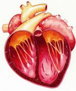 La Cardiomyopathie Dilatée (CMD) Cardio12