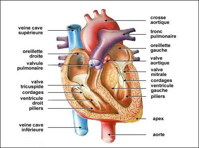La Cardiomyopathie Dilatée (CMD) Cardio13
