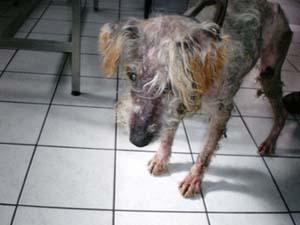 Petit chien retiré pour maltraitance - DECEDE - Chien_13