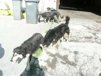 SOS pour 8 chiens dans un garage(dept. 59) Chiens10