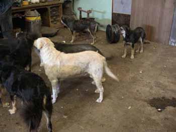 SOS pour 8 chiens dans un garage(dept. 59) Chiens12