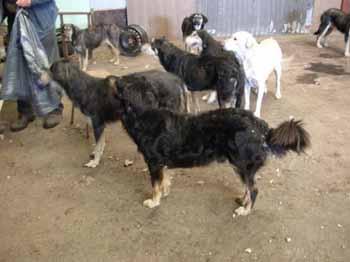 SOS pour 8 chiens dans un garage(dept. 59) Chiens13