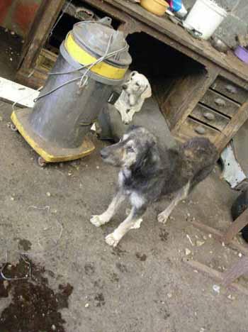 SOS pour 8 chiens dans un garage(dept. 59) Chiens15