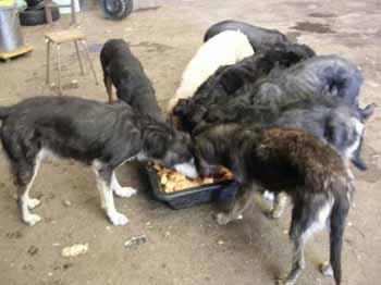 SOS pour 8 chiens dans un garage(dept. 59) Chiens17