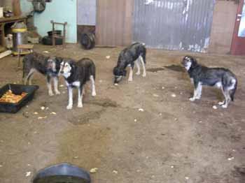 SOS pour 8 chiens dans un garage(dept. 59) Chiens18