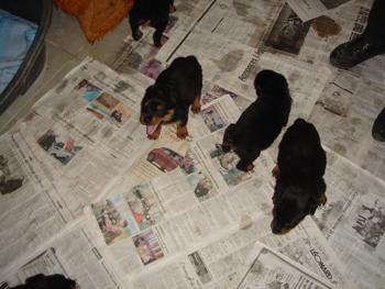 Une cinquantaine de chiens à sauver d'urgence dans la meuse (55) Chiots10