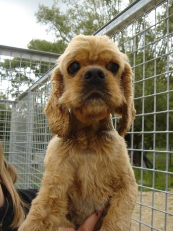 Une cinquantaine de chiens à sauver d'urgence dans la meuse (55) Cocker13