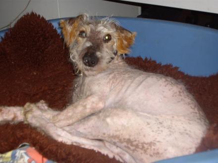 Petit chien retiré pour maltraitance - DECEDE - Diego210