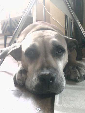 GRANDE URGENCE - eutha imminente - DOGO CANARIO LOF de 10 ans... SAUVE Dogo-310