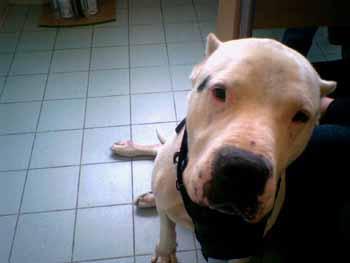 SOS POUR UN DOGUE ARGENTIN DE 5 ANS HYPER GENTIL Dogue-12