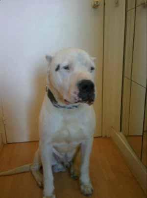SOS POUR UN DOGUE ARGENTIN DE 5 ANS HYPER GENTIL Dogue-15