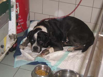 Pauvre chien trouvé agonisant ds le 94 !!!!!! une honte !!!! Dogue-17