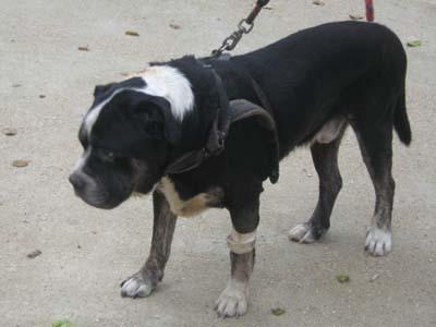 Pauvre chien trouvé agonisant ds le 94 !!!!!! une honte !!!! Dogue-18
