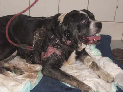 Pauvre chien trouvé agonisant ds le 94 !!!!!! une honte !!!! Dogue-19