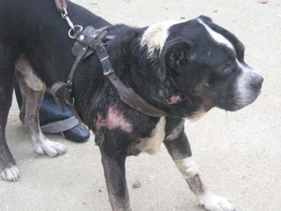 Pauvre chien trouvé agonisant ds le 94 !!!!!! une honte !!!! Dogue-20