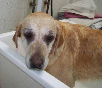 ELSA est une vraie Labrador (13 avril 2009) + VIDEOS El-bai12