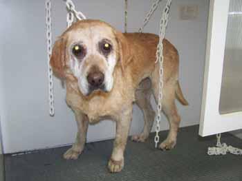 ELSA est une vraie Labrador (13 avril 2009) + VIDEOS El-bai13