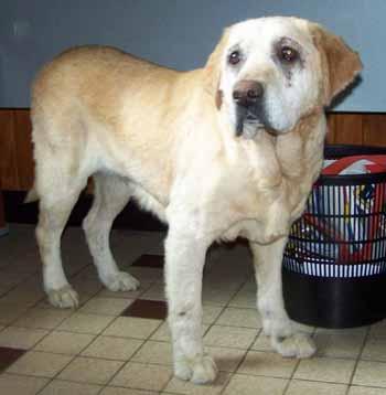 SOS pour ELSA, femelle Labrador de 10 ANS - SPA de Dunkerque - ADOPTEE - El-fac13