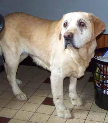 SOS pour ELSA, femelle Labrador de 10 ANS - SPA de Dunkerque - ADOPTEE - El-fac14