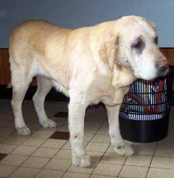 SOS pour ELSA, femelle Labrador de 10 ANS - SPA de Dunkerque - ADOPTEE - El-fac15