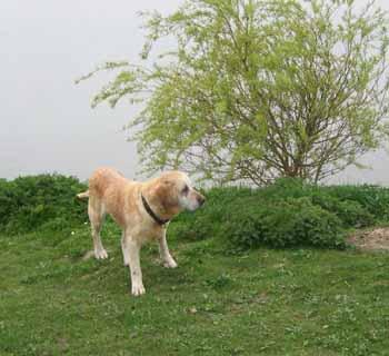 ELSA est une vraie Labrador (13 avril 2009) + VIDEOS El-lac10