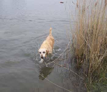 ELSA est une vraie Labrador (13 avril 2009) + VIDEOS El-lac13