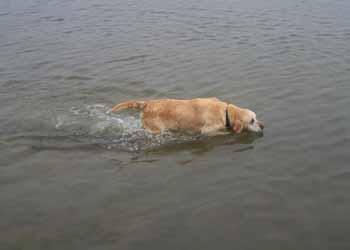 ELSA est une vraie Labrador (13 avril 2009) + VIDEOS El-lac14