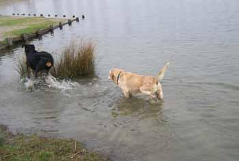 ELSA est une vraie Labrador (13 avril 2009) + VIDEOS El-lac15