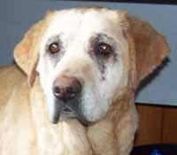 SOS pour ELSA, femelle Labrador de 10 ANS - SPA de Dunkerque - ADOPTEE - El-tet11