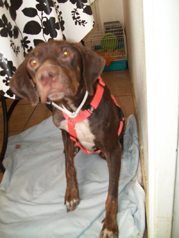 URGENT pour Petite chienne de Cadix SOS !!!! Espagne - en FA en France - Fortun11