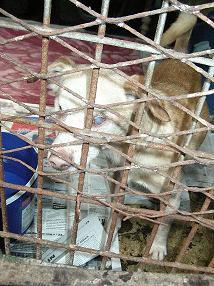 Fermeture du refuge de Condé, 29 chiens à placer (dept. 59) Loulou10