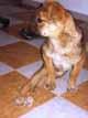 MAXIMA (femelle croisée-Berger de 6 MOIS - handicapée) - ADOPTEE -