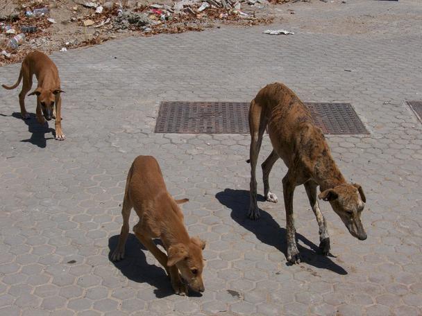 A Séville, famille de galgos mal en point !! Montan13