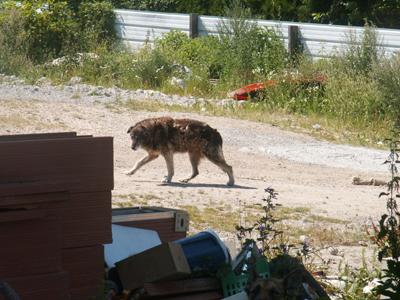 2 chiens sur un site attachés sans eau ni nourriture (93) - l'un est DECEDE Montre10