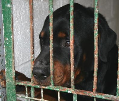 SOS pour NOUJOUM, mâle Rottweiler de 6 ANS - SPA de Douai - ADOPTE - Noujou10