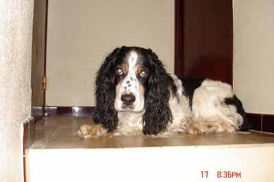 OTHELLO Springer Spaniel de 10 ans maitre DCD, peu de temps pour le sauver Othell10