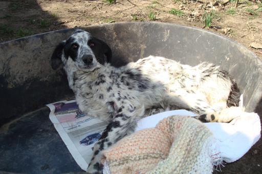 Hommage à un pauvre chien que je devais prendre en accueil Pongo-10