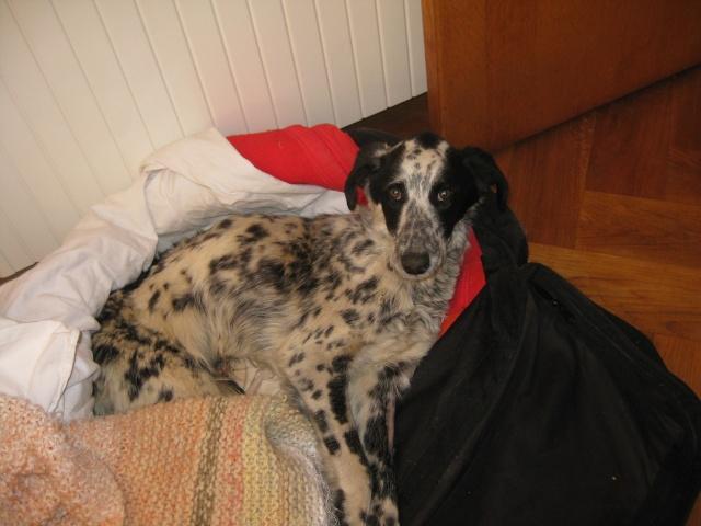 Hommage à un pauvre chien que je devais prendre en accueil Pongo-13