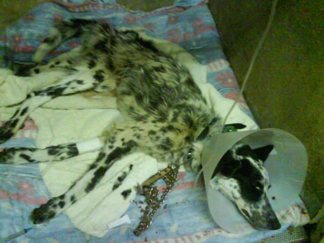 Hommage à un pauvre chien que je devais prendre en accueil Pongo110