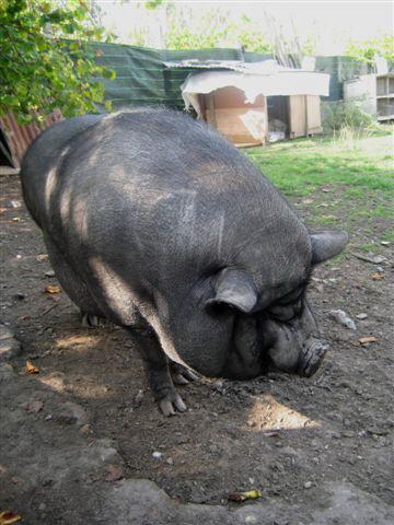 SOS pour un cochon vietnamien - avant euthanasie !! Puddin10