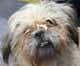 DANDY (mâle croisé Shi-Tsu de 8 ANS) - EN FA pour Cani-Seniors