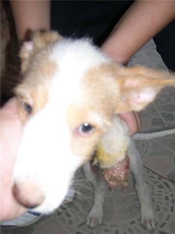 Bébé podenco trouvé dans une rivière, en Espagne - SAUVE - Suki410