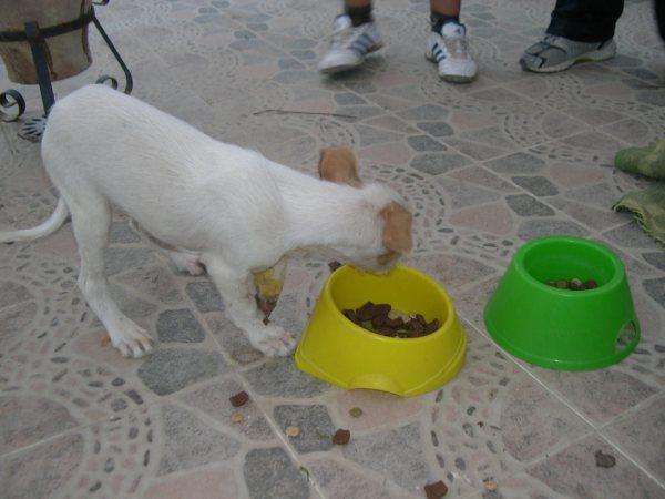 Bébé podenco trouvé dans une rivière, en Espagne - SAUVE - Suki510