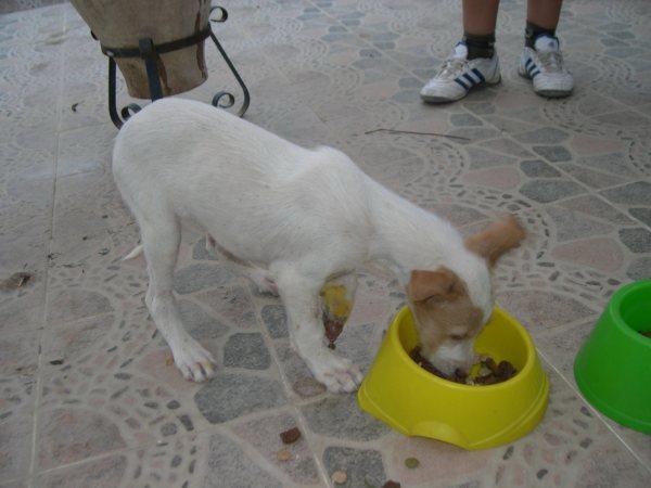 Bébé podenco trouvé dans une rivière, en Espagne - SAUVE - Suki610