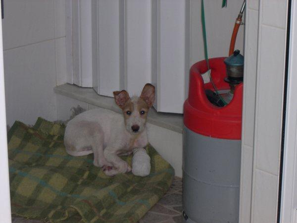 Bébé podenco trouvé dans une rivière, en Espagne - SAUVE - Suki710